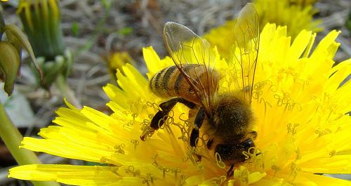 abeilleOK