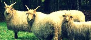 moutonsOK