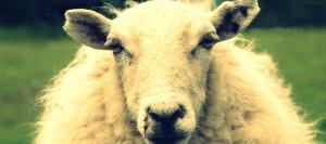 sheepOK