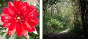 Dahlia-rouge